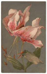 Tuck Asiatic Lily Postcard